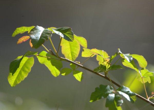 Poison Oak_MtDiablo-CA_LAH_8563