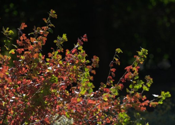 Rhus trilobata_Three-leaf Sumac_DenverZoo_20091007_LAH_3355.nef