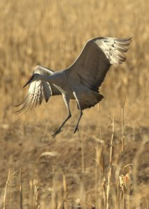 Sandhill Cranes_BosquedelApacheNWR-NM_LAH_7152