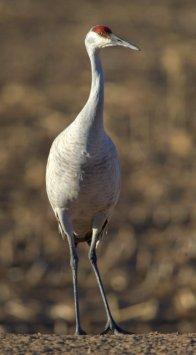 Sandhill Cranes_BosquedelApacheNWR-NM_LAH_7207
