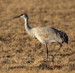 Sandhill Cranes_BosquedelApacheNWR-NM_LAH_7384