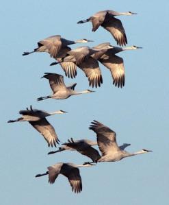 Sandhill Cranes_BosquedelApacheNWR-NM_LAH_9089