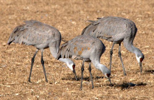 Sandhill Cranes_BosquedelApacheNWR-NM_LAH_9389