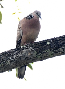 spotted-dove_macritchiereservoir-singapore_lah_7998