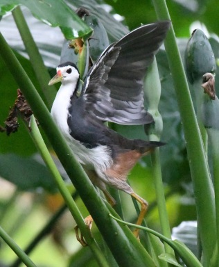 white-breasted-waterhen_botanicgardens-singapore_lah_6835