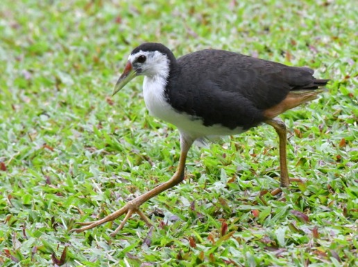 white-breasted-waterhen_botanicgardens-singapore_lah_6942-001