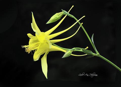 5 x 7 Yellow Columbine-001