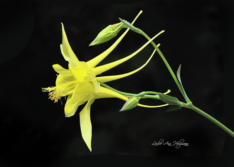 5 x 7 Yellow Columbine-001