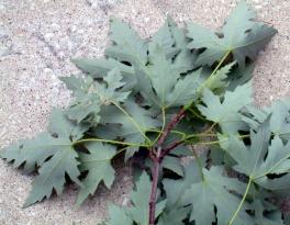 Acer saccharinum - Silver Maple back of leaves @CC 2003jul06 LAH 001