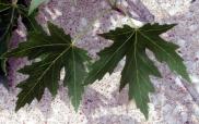 Acer saccharinum - Silver Maple leaves @CC 2003jul06 LAH 002