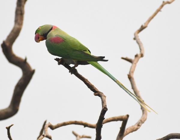 Alexandrine Parakeet_Lodhi Gardens-NewDelhi-India_LAH_9597