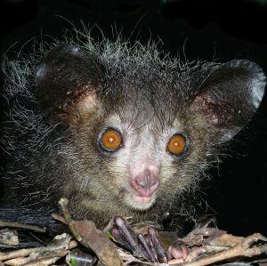 Aye-aye_at_night_in_the_wild_in_Madagascar