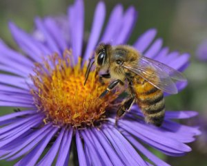 Bee on Aster_DBG_LAH_7241_filtered