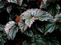 Begonia 'Kismet'