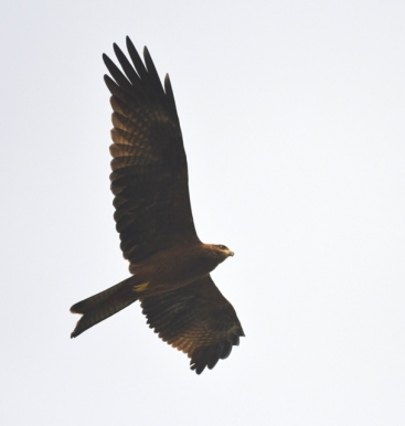 Black Kite_Lodhi Gardens-NewDelhi-India_LAH_9624
