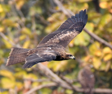 Black Kite_Lodhi Gardens-NewDelhi-India_LAH_9636
