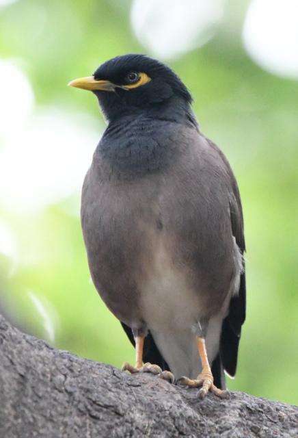 Common Myna_Lodhi Gardens-NewDelhi-India_LAH_9458