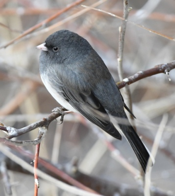 Dark-eyed Junco_FCNC-CO_LAH_2767