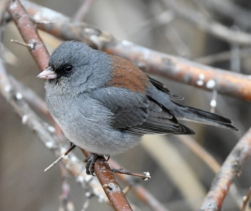 Dark-eyed Junco_FCNC-CO_LAH_2891