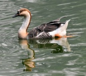 Domestic Goose_Lodhi Gardens-NewDelhi-India_LAH_9791