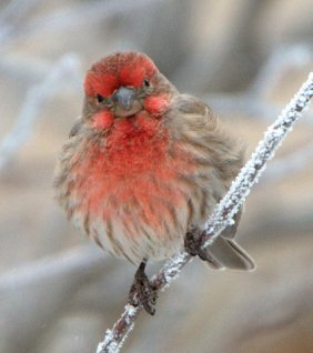 House Finch_LaVeta-CO_LAH_2316