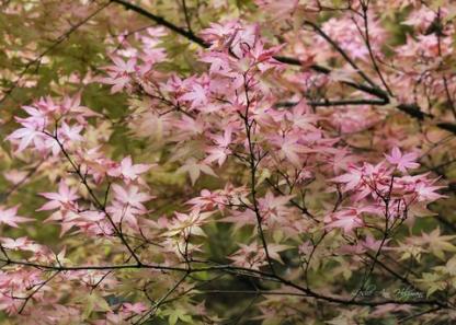 Japanese Maple_LakewoldGardens-WA_LAH_0654_fs