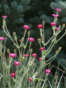 Lychnis coronaria - Rose Campion @DBG LAH 033
