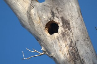 Northern Flicker hole_BearRiverSP-Evanston-WY_LAH_3911