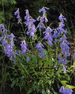 Penstemon virens - Blue Mist Beardtongue_EmeraldValleyCO_20090630_LAH_5371