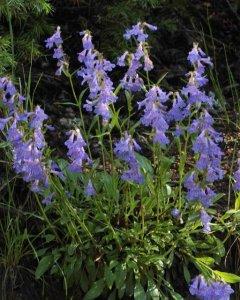 Penstemon virens - Blue Mist Beardtongue_EmeraldValleyCO_20090630_LAH_5371