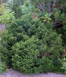 Picea abies 'Nidiformis' - Bird's Nest Spruce_XG_20090826_LAH_9728