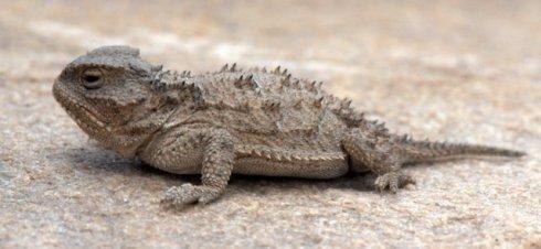 Pygmy Short-horned Lizard_DoloresCynOverlook-CO_LAH_2947