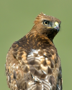 Red-tailed Hawk_SE EPC-CO_LAH_7707