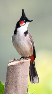 Red-Whiskered Bulbul_Lodhi Gardens-NewDelhi-India_LAH_9519