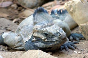 Rhinocerous Iguana_DenverZoo_20091007_LAH_3288