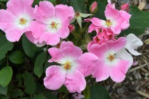 Rosa_Rose 'Nearly Wild'_HASDemoGarden-COS-CO_LAH_9468