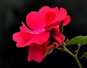 Rosa_Rose_Columbus-OH_LAH_3536
