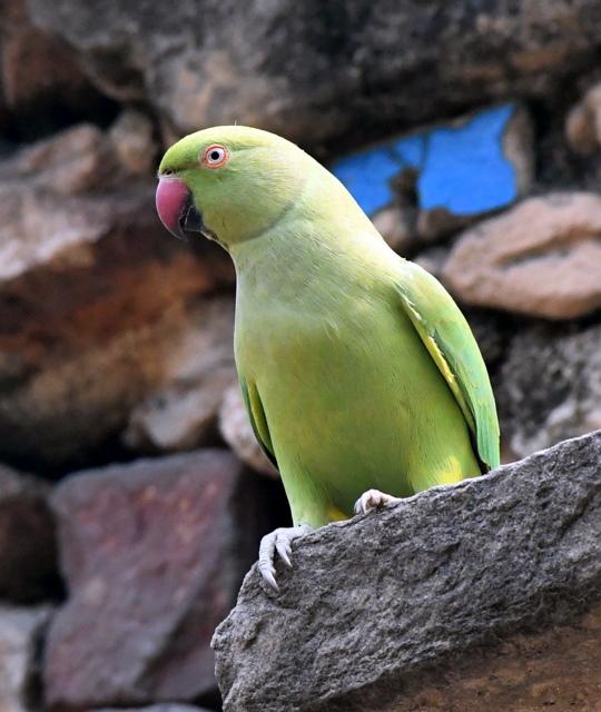 Rose-ringed Parakeet, Lodhi Gardens