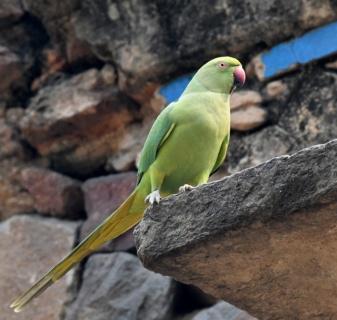 Rose-ringed Parakeet_Lodhi Gardens-NewDelhi-India_LAH_9714
