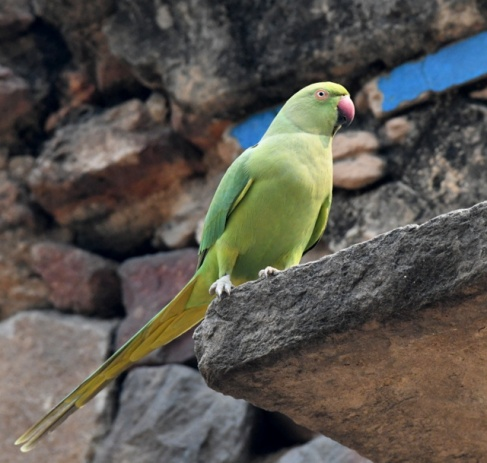 Rose-ringed Parakeet_Lodhi Gardens-NewDelhi-India_LAH_9714