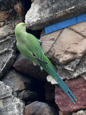 Rose-ringed Parakeet_Lodhi Gardens-NewDelhi-India_LAH_9755