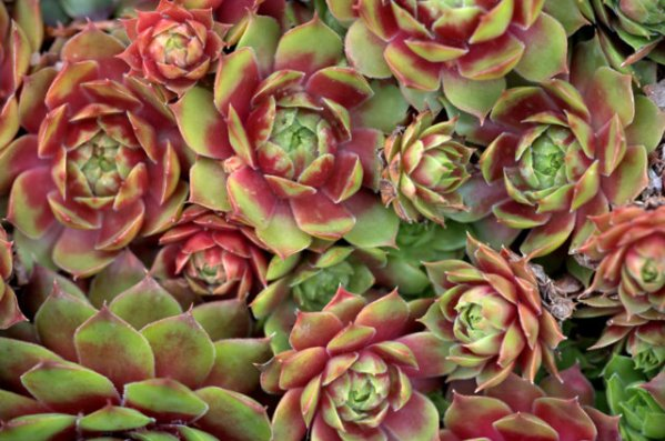 Sempervivum 'Palouse'_Houseleek_DBG_LAH_0817