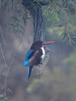 White-throated Kingfisher_Lodhi Gardens-NewDelhi-India_LAH_9920