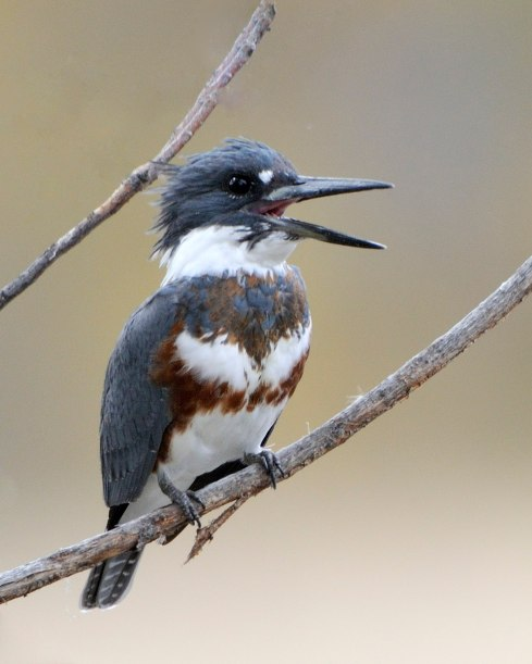 Belted Kingfisher_FCNC-CO_LAH_1319