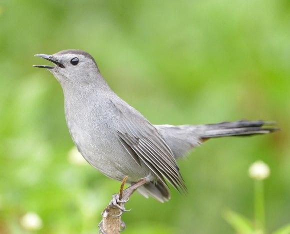 Gray Catbird_EvergladesNP-FL_LAH_5074