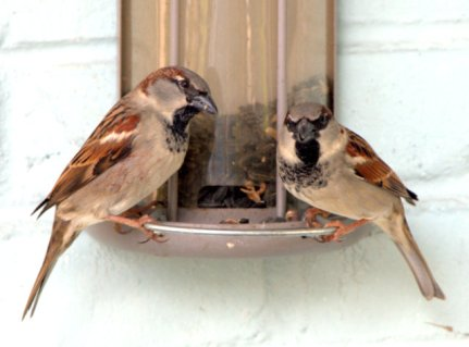 House Sparrows_Gretna-LA_LAH_1853
