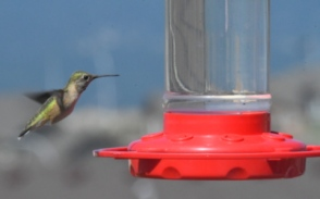 Hummingbird on feeder_NewSantaFeTrl-COS-CO_LAH_2568