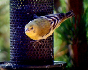 Lesser Goldfinch @BlkFst 2008oct10 LAH 2050r