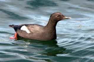 Pigeon Guillemot_SantaCruz-CA_LAH_0677
