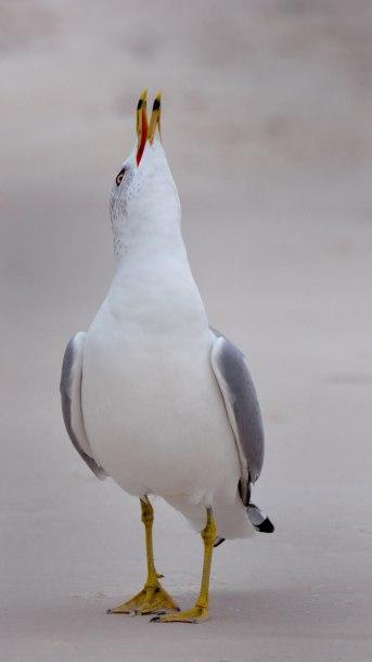 Ring-billed Gull_PortSt.Joe-FL_LAH_8468